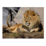 Lounging Lion Postcard
