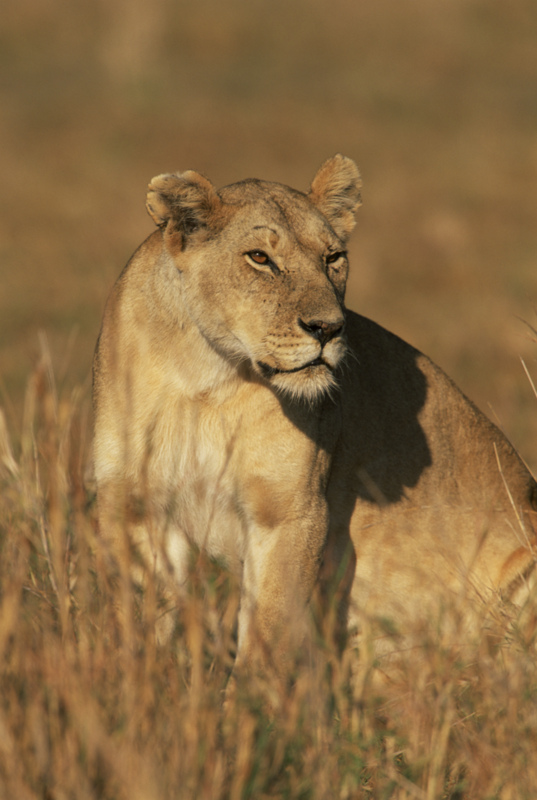 About Lions